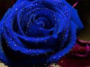 Blue Rose Flower Seeds Garden Plant, (Buy 1 Get 1 15% Off) UK Seller