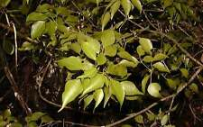 Huile essentielle Amyris - Santal d'Haiti  pure et naturelle 250 ml