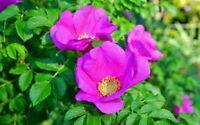 Die Blüten der Apfel-Rose zaubert tolle Farbtupfer in Ihren schönen Garten !