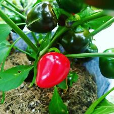 25+ Cherry Bomb Pepper Seeds (Organically Grown, High Yields)