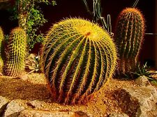 Barrel Cactus - Echinocactus grusonii - 1000 Quality Seeds Wholesale
