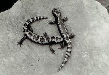 1932 Original Photo Portrait by L.W. Brownell blotched salamander lizard