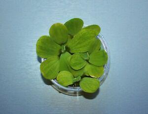 *MUSCHELBLUMEN* Schwimmpflanze Teichpflanze Miniteich Aquarium Muschelblume