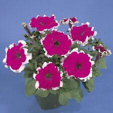 Petunia - Hulahoop Velvet - 100 Seeds