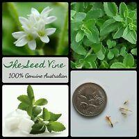 20+ SWEET LEAF PLANT SEEDS (Stevia rebaudiana) Natural Sweetner Sugar Herb