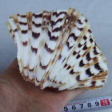 One(1) 4-5'' Clam TRIDACNA GIGAS Sea Shell Reef Beach Decor Craft Aquarium