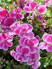 10 Pinto Rose BICOLOR GERANIUM Pink & White Pelargonium Flower Seeds *Comb Ship