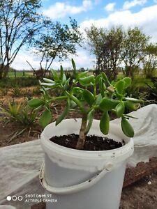Crassula ovata, Glücksbaum, Geldbaum, Dickblatt, voll durchwurzelt, als Bäumchen