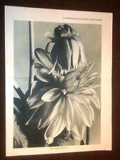 Fotografia e Natura nel 1931 Studi di Fiori Dalia bianca gigante e Tulle