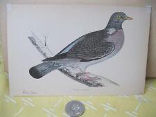 Vintage Print,WOOD PIGEON,History British Birds,Morris,Ca 1870