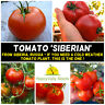 TOMATO 'Siberian' 10+ HEIRLOOM Seeds EARLY MATURE vegetable garden COLD TOLERANT