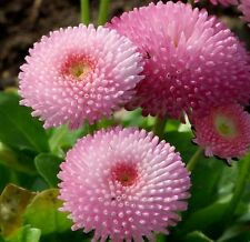 Flower Seeds English Daisy Bellis Perennis Tasso Strawberries and Cream 50 Seeds