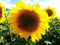 Sonnenblumen  Mischung, gelb,rot, orange, braun Balkon, Topf, Kübel, Garten,