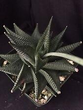 Haworthia limifolia, succulent