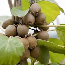 Bestseller Actinidia arguta KIWI Pflanze 2l 60cm mehrjährige Pflanze