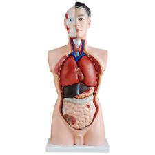 Anatomie Lehrmodell Torso 85cm mit 19 Teilen