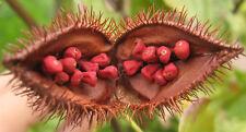 50 Semi freschi Bixa orellana Pianta del rossetto Anatto Urucu seeds graines red