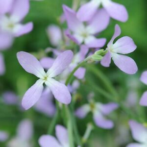 Wild Garden Seeds. Night Scented Stock Lilac. INC FREE SEED OFFER - see desc