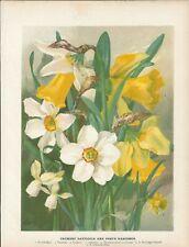 Stampa antica FIORI NARCISO NARCISSUS botanica 1896 Antique print flowers