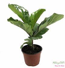 """Fiddleleaf Fig Tree 6"""" Pot Ficus Great Indoor Tree Easy Grow Indoor Tree"""