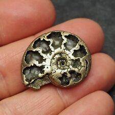 30mm AMMONITE Pyrite Mineral Fossil fossilien Ammoniten France Dino Mollusk