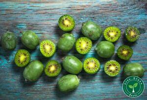 20 seeds of Baby Kiwi - ACTINIDIA ARGUTA - Hardy Kiwi + GIFT 5 seeds Sunflower