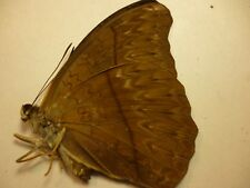 Real Butterflies/Moths/Insects non set. Rare Female Cymothoe herminia