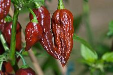 Peperoncino BHUT JOLOKIA CHOCOLATE - 10 Semi Selezionati