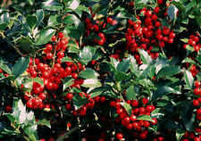"TWO 12-15"" HOLLY BUSHES ONE FEMALE & MALE EVERGREENS FEMALE GETS RED BERRIES"