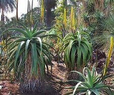 ALOE alooides-Grass HEAD Tree ALOE VERA - 10 Semi Freschi-mozzafiato tropicale