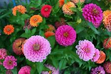 100 seeds, mixed colors, Z innia for landscaping