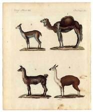 Dromedario-camellos-lama-vicunja - guanaco-Bertuch-grabado 1800 animales