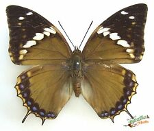 Charaxes tiridates Real tailed butterfly FM SET x1 A1- Entomology Art.