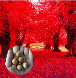 Oak Red Green 5 Pcs Seeds Tree Rare 2 Kind Pereninal Beautiful Wood Garden Plant
