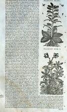 Fleur Plante Hellébore Botanique Matthioli Mattioli Matthiole Dioscoride