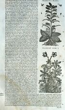 Flower Plant Hellebore Botany Matthioli Mattioli Matthiole Dioscoride