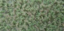 Azolla (Fairy Moss) (BY THE Sq FT) SEE DESCRIPTION Covers 55 gal, Pond Aquarium