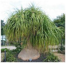 50 semi di Nolina longifolia,Beaucarnea longifolia,mangiafumo,seeds