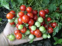 Kolumbianische Wildtomate - Tomato 10+ Samen - Saatgut - Seeds - Gemüsesamen