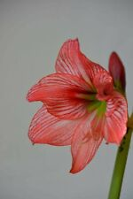 Hippeastrum 'Orange Varie' - 1 bulb.1,9cm