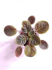 African Violet Fatal Attraction - Start Plant/Plug