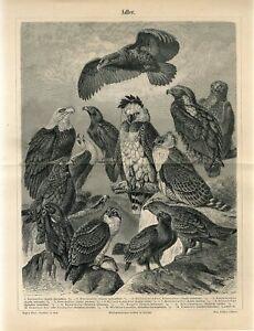 1895 EAGLE BIRDS OF PREY Antique Engraving Print G.Mutzel