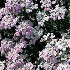 Candytuft- Iberis- Gibraltarica- 50 Seeds - - Bogo 50% off Sale