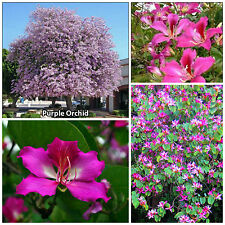 10 semillas de Bauhinia purpurea, árbol de orquídea,seeds S
