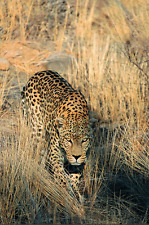 "Leopard  - Wildlife Animals Photo Art - Canvas Giclee Print 24"" x36"""