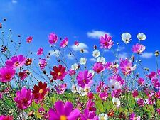 350 Cosmos Sensation Mix Bipinnatus Flower Seeds CombSh