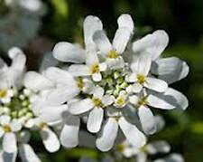 Candytuft Seed, Tall Mix, 500 Seeds, Beautiful Pink, Lavender, White Flowers.