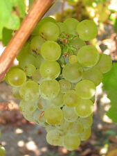 Vitis vinifera Chardonnay WINE GRAPE Seeds!
