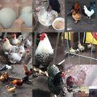 12 rare breed hatching eggs assortment, cream brabanter, Araucana, Cemani