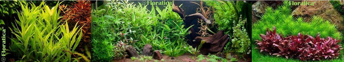 Floratica Live Aquatic Plants